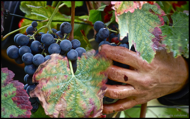 Grape harvest in Piemonte