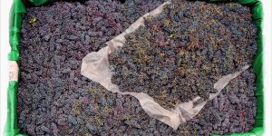 Nebbiolo o nebbioli? Mini-guida al più celebre vitigno del Piemonte