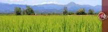 Rice paddies of northern Piedmont