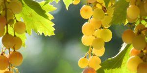 La Nascetta, piccolo grande vitigno del Piemonte